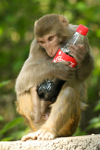A monkey stole our bottle of coke at Swayambhunath, the monkey temple - Kathmandu, Nepal ... May 29, 2014 ... Photo by Rob Page III