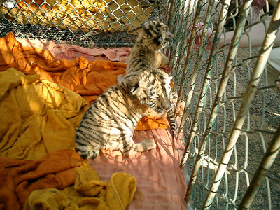 The tiger temple in Kanchanaburi near Bangkok, Thailand.  The monks at this temple take care of the tigers and other animals.  The tiger cubs. ... August 18, 2004 ... Copyright Robert Page III