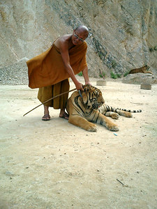 The tiger temple in Kanchanaburi near Bangkok, Thailand.  The monks at this temple take care of the tigers and other animals.  Monk petting the tiger. ... August 18, 2004 ... Copyright Robert Page III