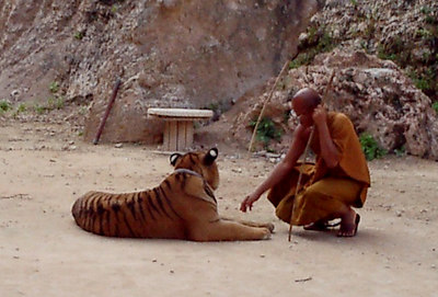 The tiger temple in Kanchanaburi near Bangkok, Thailand.  The monks at this temple take care of the tigers and other animals. ... August 18, 2004 ... Copyright Robert Page III
