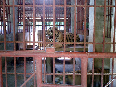 The tiger temple in Kanchanaburi near Bangkok, Thailand.  The monks at this temple take care of the tigers and other animals.  Tigers. ... August 18, 2004 ... Copyright Robert Page III