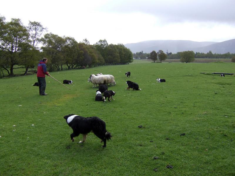 Sheep Dog Demonstration in the Highlands