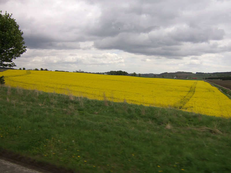 Field of Scottish Broom from the Bus