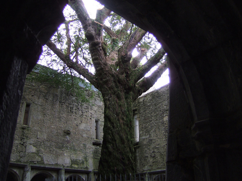 Tree in the Abbey Courtyard