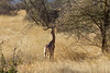 Gerenuk feeding in Samburu National Reserve - Kenya