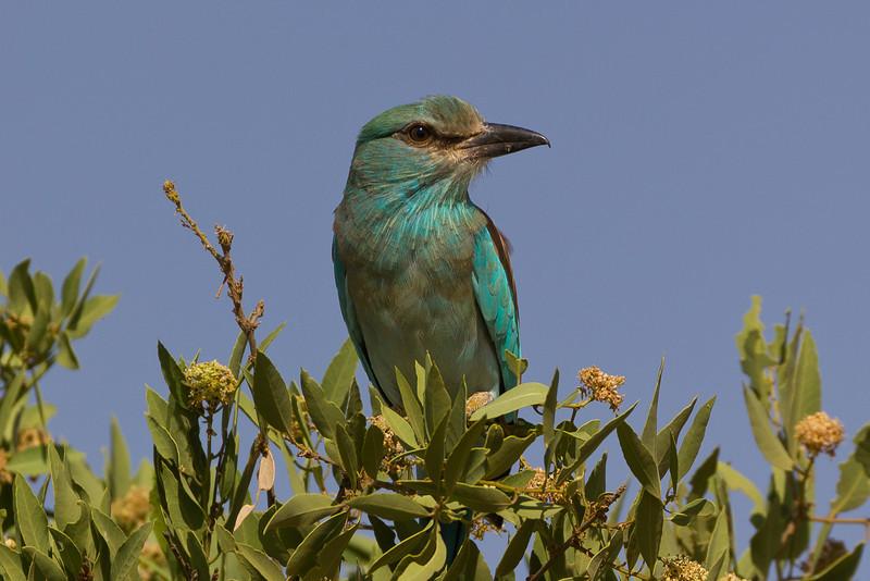 European Roller in the Samburu National Reserve - Kenya