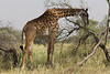 Reticulated Giraffe in the Tarangire National Park - Tanzania
