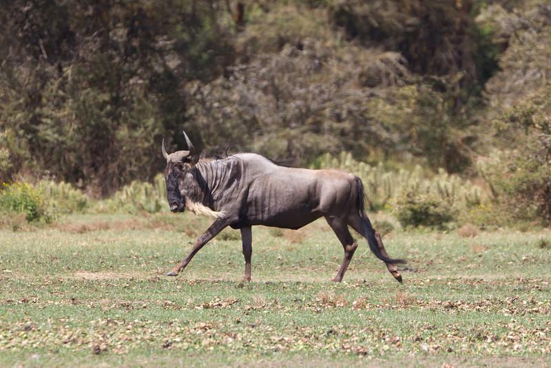 Wildebeest on Crescent Island - Lake Naivasha - Kenya