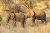 Elephants in the Samburu National Reserve - Kenya