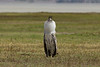 The Kori Bustard in the Ngorongoro Crater World Heritage Site - Tanzania