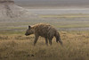 Hyena in the Ngorongoro Crater World heritage Site - Tanzania
