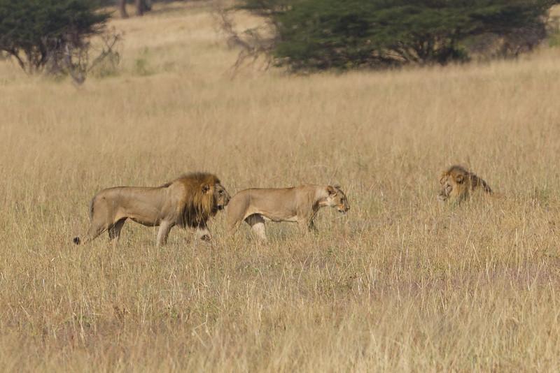 Lions in the Tarangire National Park - Tanzania