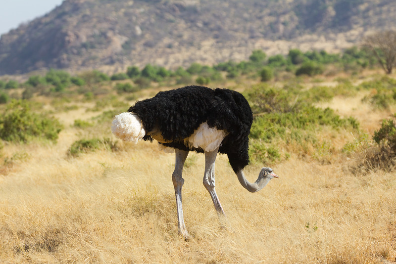 Somali Ostrich in the Samburu National Reserve - Kenya