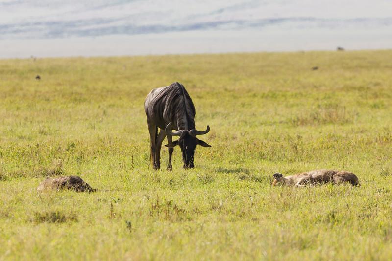 Wildebeest grazing near a sleeping Hyena in the Ngorongoro Crater World Heritage Site - Tanzania