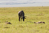 Wildebeest grazing near a sleeping Hyena in the Ngorongoro Crater World Heritage Site - Tanzania
