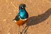 A Superb Starling in the Tarangire National Park - Tanzania