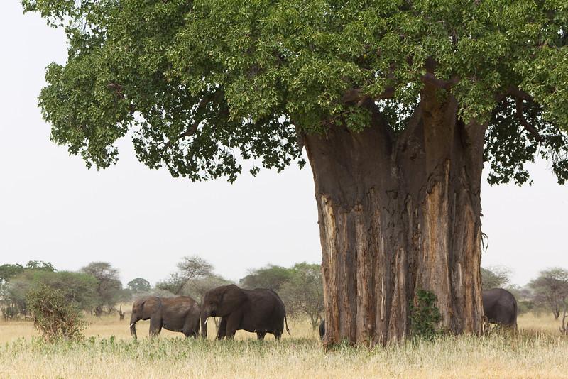 Baobab Tree in the Lake Tarangire National Park area - Tanzania