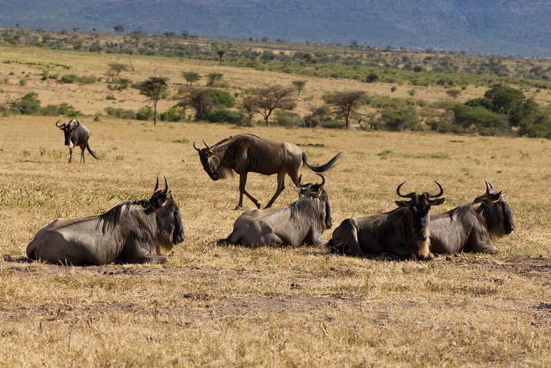 Wildebeest in the Masai Mara National Reserve - Kenya