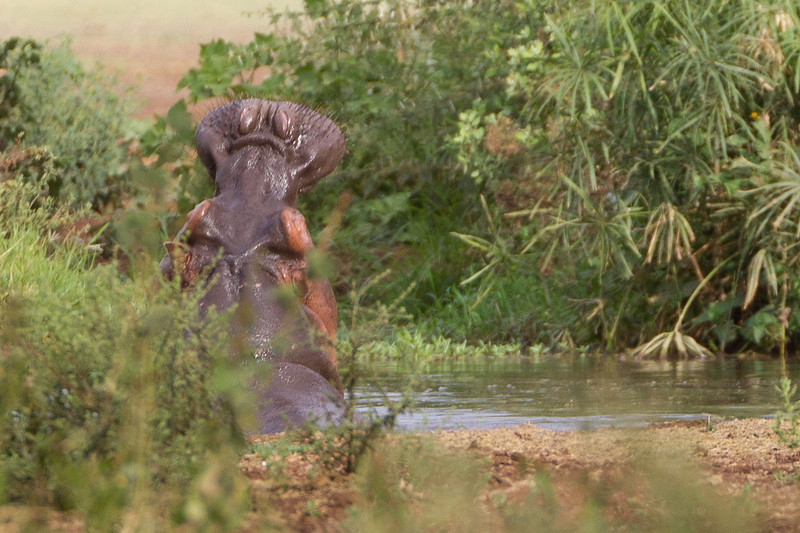 Hippopotamus in the water at the Lake Manyara National Park - Tanzania