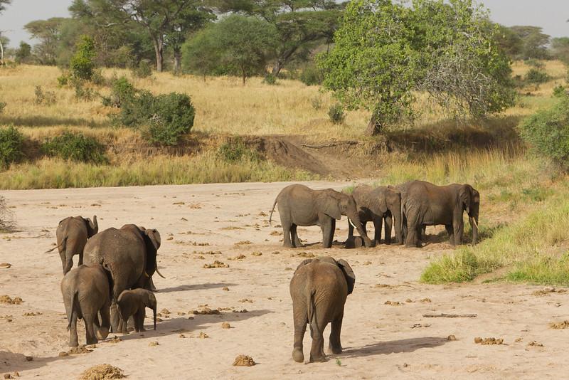 Elephants in the Taranguire National Park - Tanzania