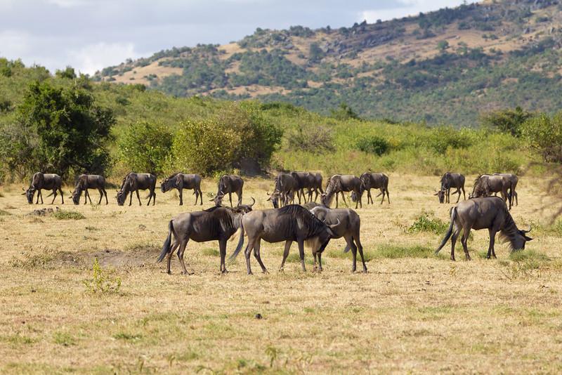 Small herd of Wildebeest at Masai Mara National Reserve - Kenya