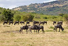 Small herd of Wildebeest at Masai Mara National Reserve - Kenya