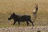 Warthog and Impala in the Masai Mara National Reserve - Kenya