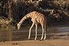 Reticulated Giraffe drinking in the Mount Kenya National Reserve