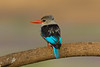 Brown-hooded Kingfisher in the Samburu National Reserve - Kenya