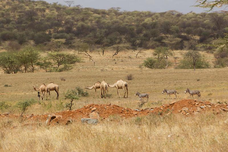 Camels and Donkeys in Samburu National Reserve - Kenya