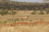 Camels and Donkeys in Samburu National Reserve - Kenya