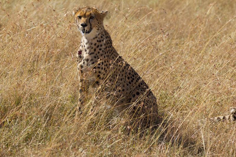 Cheetah in the Masai Mara National Reserve - Kenya
