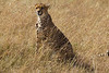 Cheetah in the Masai Mara National Reserve - Kenya