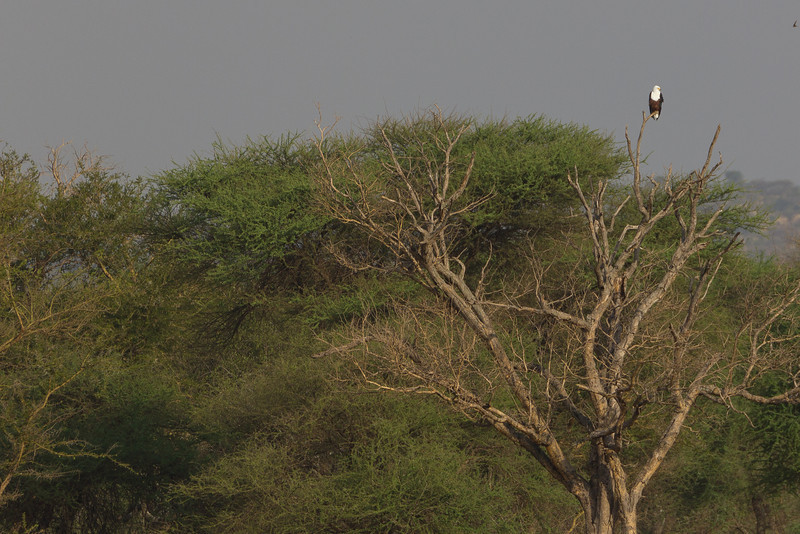 African Fish Eagle looking for food in Tarangire National Park in Tanzania