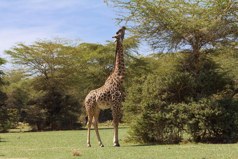 Reticulated Giraffe on Crescent Island - Lake Naivasha - Kenya