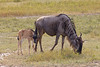 Wildebeest with baby in the Ngorongoro Crater World Heritage Site - Tanzania