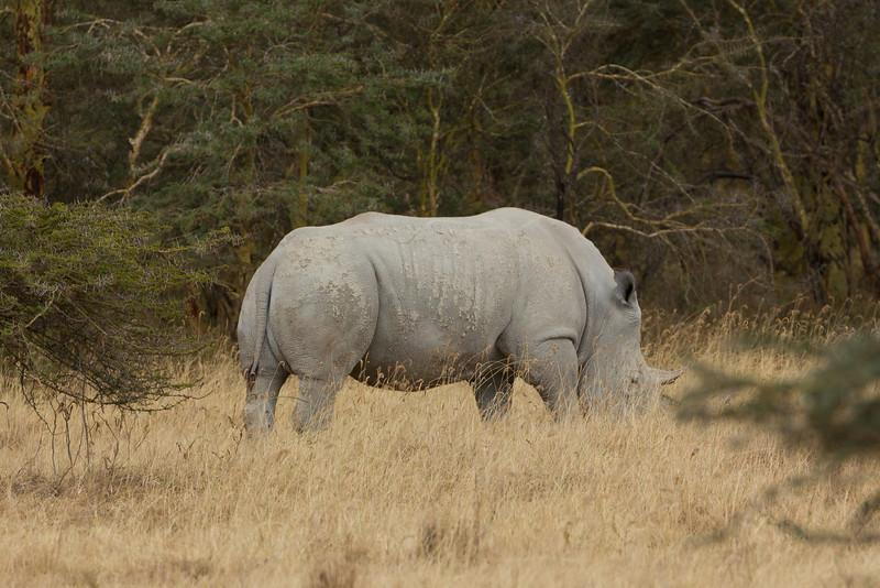 A Rhino in the Lake Nakuru National Park - Kenya