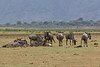 Wildebeest in the Lake Manyara National Park in Tanzania