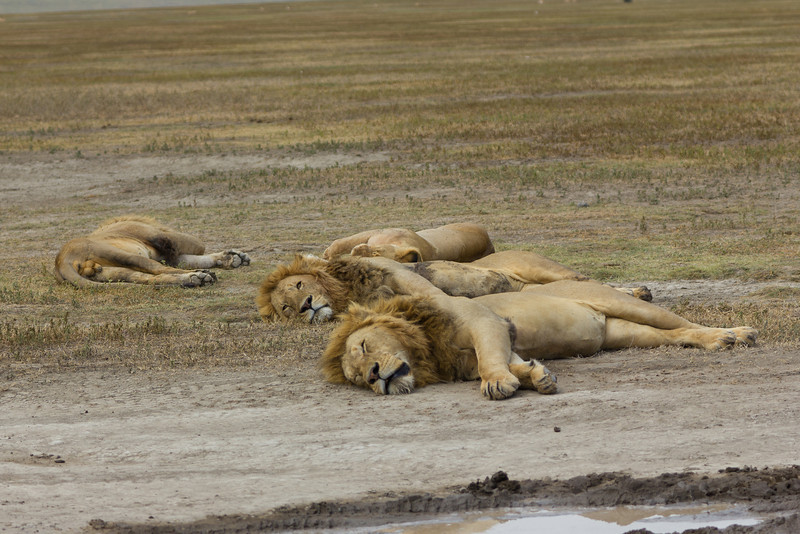 Lions resting in the Ngorongoro Crater World Heritage Site - Tanzania