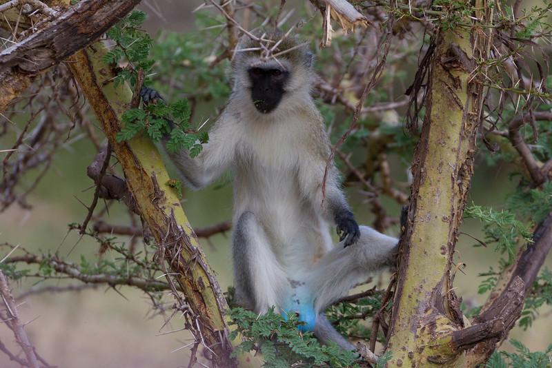 Blue Balls Monkey in the Lake Manyara National Park - Tanzania