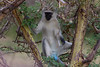 Blue Balls Monkey in the Lake Manyara National Park - Tanzania