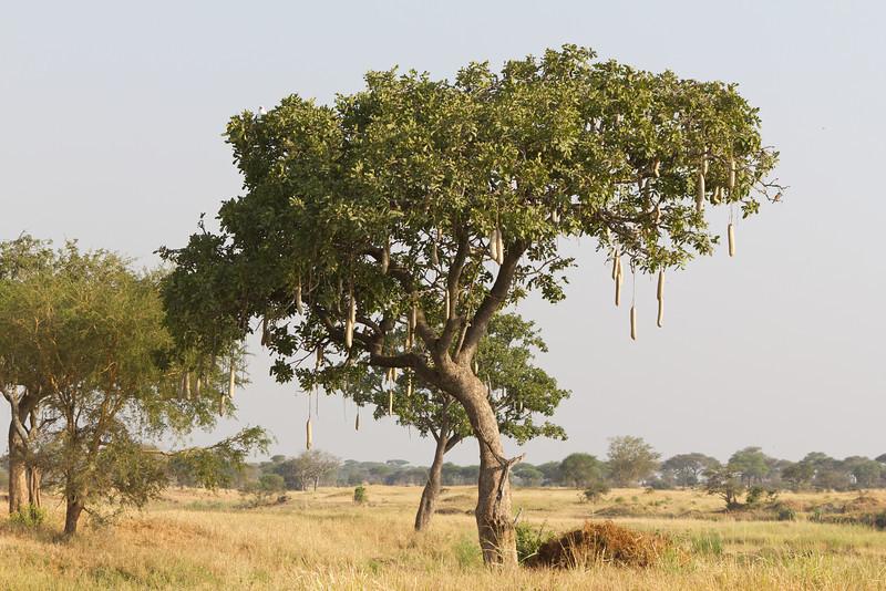Sausage Tree in Tarangire National Park - Tanzania