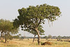 Sausage Tree in Tarangire National Park - Tanzania