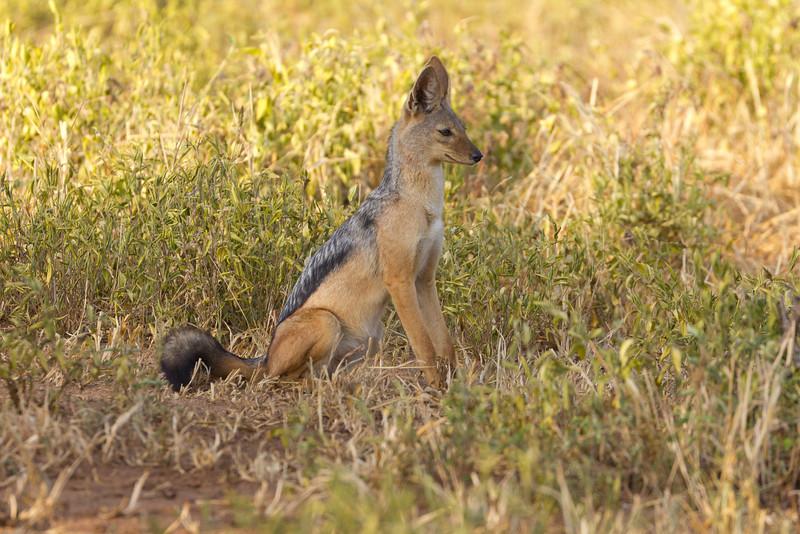 A Jackal in the Tarangire National Park - Tanzania