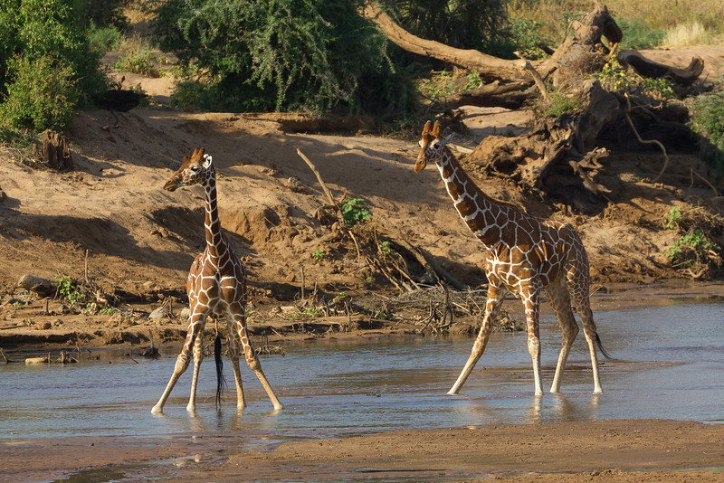Reticulated Giraffes drinking in the Mount Kenya National Reserve