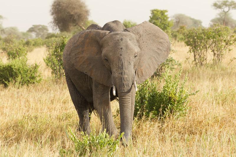 Elephant in the Tarangire National Park - Tanzania