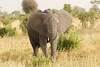 Elephant in the Tarangire National Park - Tanzania