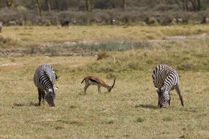 Zebra and an Impala in the Lake Nakuru National Park - Kenya