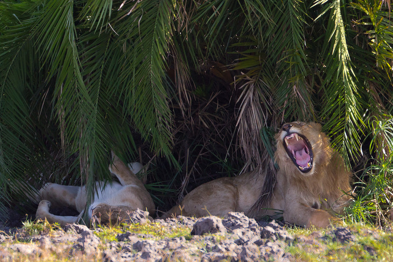 Lion and lioness resting in the noon heat - Masai Mara National Reserve in Kenya