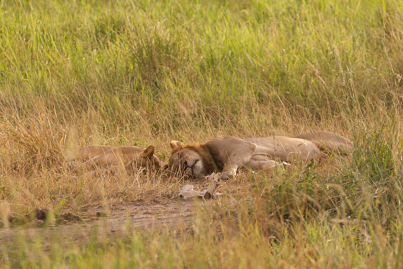 Lions relaxing in the brush at Tarangire National Park - Tanzania